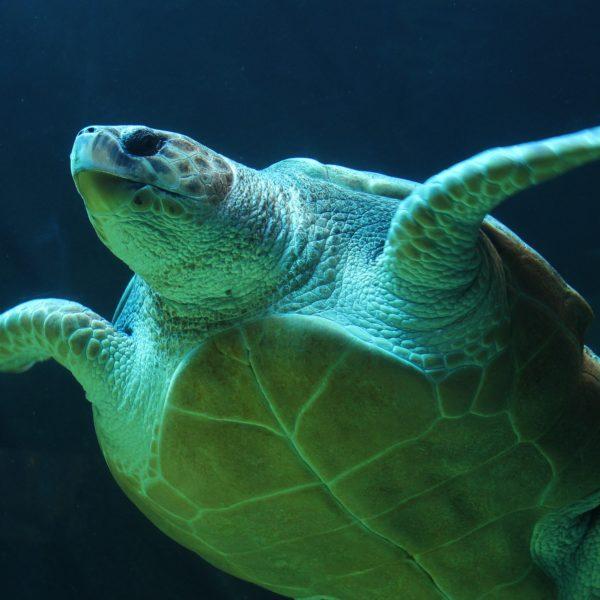 Rysk stäppsköldpadda - Skötselråd