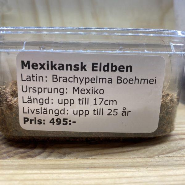 Mexican Fireleg